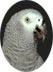 Perroquets gris d'Afrique
