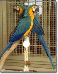 Large Macaws