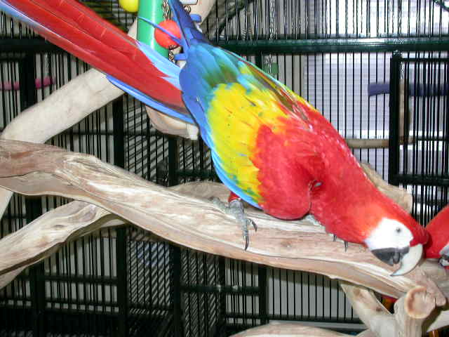 Scarlet Macaws From Avalon Aviary